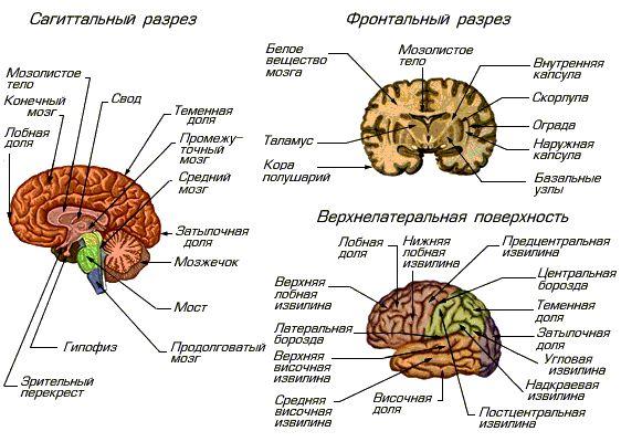 Головной мозг - часть центральной нервной системы; главный регулятор всех...